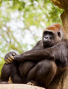 Big male gorilla Royalty Free Stock Images