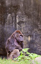 Big male gorilla Royalty Free Stock Photo