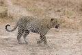 Big Male Leopard Walking In Na...