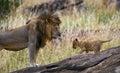 Big male lion with cub. National Park. Kenya. Tanzania. Masai Mara. Serengeti. Royalty Free Stock Photo