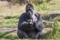 Big males gorilla Royalty Free Stock Photo