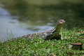 The big monitor lizard Stock Photo