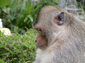 Big monkey Royalty Free Stock Photo