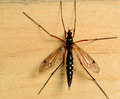 Big mosquito sitting on the flor Royalty Free Stock Photo