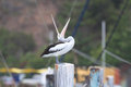 Big mouth pelican an australian pelecanus conspicillatus standing on a mooring pylon with its huge wide open photo chris ison Stock Photography
