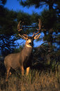 Big Mule Deer Buck Royalty Free Stock Image
