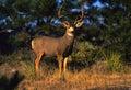 Big Mule Deer Buck Royalty Free Stock Photo