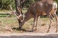 Big Mule Deer Buck Grazing Royalty Free Stock Photo