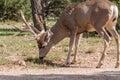 Big Mule Deer Buck Grazing Royalty Free Stock Photo