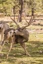 Big Mule Deer Buck Grooming Royalty Free Stock Photo