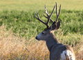 Big mule deer buck Royalty Free Stock Photo