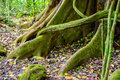 Big mystical tree roots or stems covered with green moss and lic Royalty Free Stock Photo