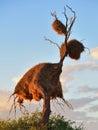 Big nest, Namibia, Africa Royalty Free Stock Photo