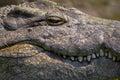 Big Nile Crocodile with teeth showing Royalty Free Stock Photo