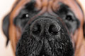 Big nose of dog Royalty Free Stock Photo