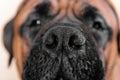 Big nose of dog Royalty Free Stock Photo
