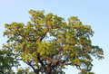 Big oak tree top Royalty Free Stock Image