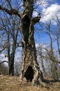 Old hollow tree Royalty Free Stock Photo