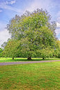 Big old maple tree in park of audley end house essex england it is a medieval county now it is under protection the Stock Images