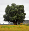 Big old_olive_tree Royalty Free Stock Photo