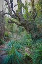 Big old tree with climbing plants in a stream