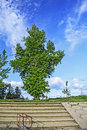 Big old tree that grows on the bank above the river Stock Photography