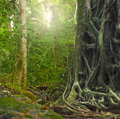 Big old tree trunk with roots in rain forest Royalty Free Stock Photo