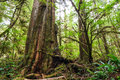 Big old trunk in rainforest on vanouver island Royalty Free Stock Photography