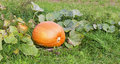 Big orange autumn  ripe pumpkins Royalty Free Stock Photography