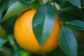Big orange fruit fresh on tree Royalty Free Stock Photo