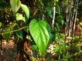 Big green paan leaf on the tree