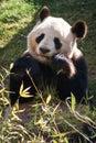 Panda bear eating bamboo hand drawn illustration