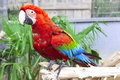 Big parrot macaw. A big bird in bright red blue green lights. Royalty Free Stock Photo