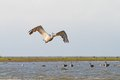 Big pelecanus onocrotalus flying over water great pelican swamps Royalty Free Stock Photo