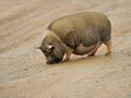 Big pig a dirty is walking on the ground Stock Photos