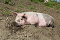 Big pig on the farm dirty lying in mud Stock Photography
