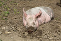 Big pig on the farm dirty lying in mud Stock Photo
