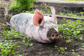 Big pig on the farm dirty lying in mud Royalty Free Stock Image