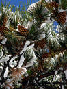 Big Pine Cones Royalty Free Stock Photography