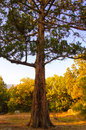 Big pine tree in the autumn forest old Royalty Free Stock Photos