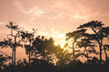 Big pine tree silhouette with golden sunset Royalty Free Stock Photo