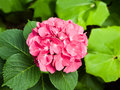Big pink hydrangea a large showy hydrange flower blooms in the garden Stock Image