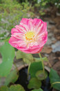 Big pink lotus in clay pot Royalty Free Stock Photo