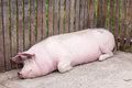 Big pink pig sleeps peacefully relaxed lying and sleeping in a pigpen Stock Photo