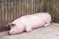 Big pink pig sleeps peacefully Royalty Free Stock Photo