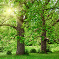 Big plane trees and sunshine Royalty Free Stock Photo