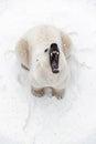 Big polar bear in the snow look predator roar of a predator s mouth Royalty Free Stock Photos