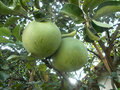 Big pomelo at the pomelo tree, grapefruit Royalty Free Stock Photo