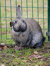 Big puffy rabbit Royalty Free Stock Image