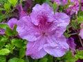 Big Purple Azalea Flower in Spring Royalty Free Stock Photo